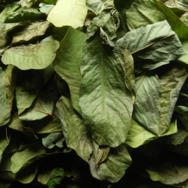 Cassia Alata Leaves Powder Manufacturer